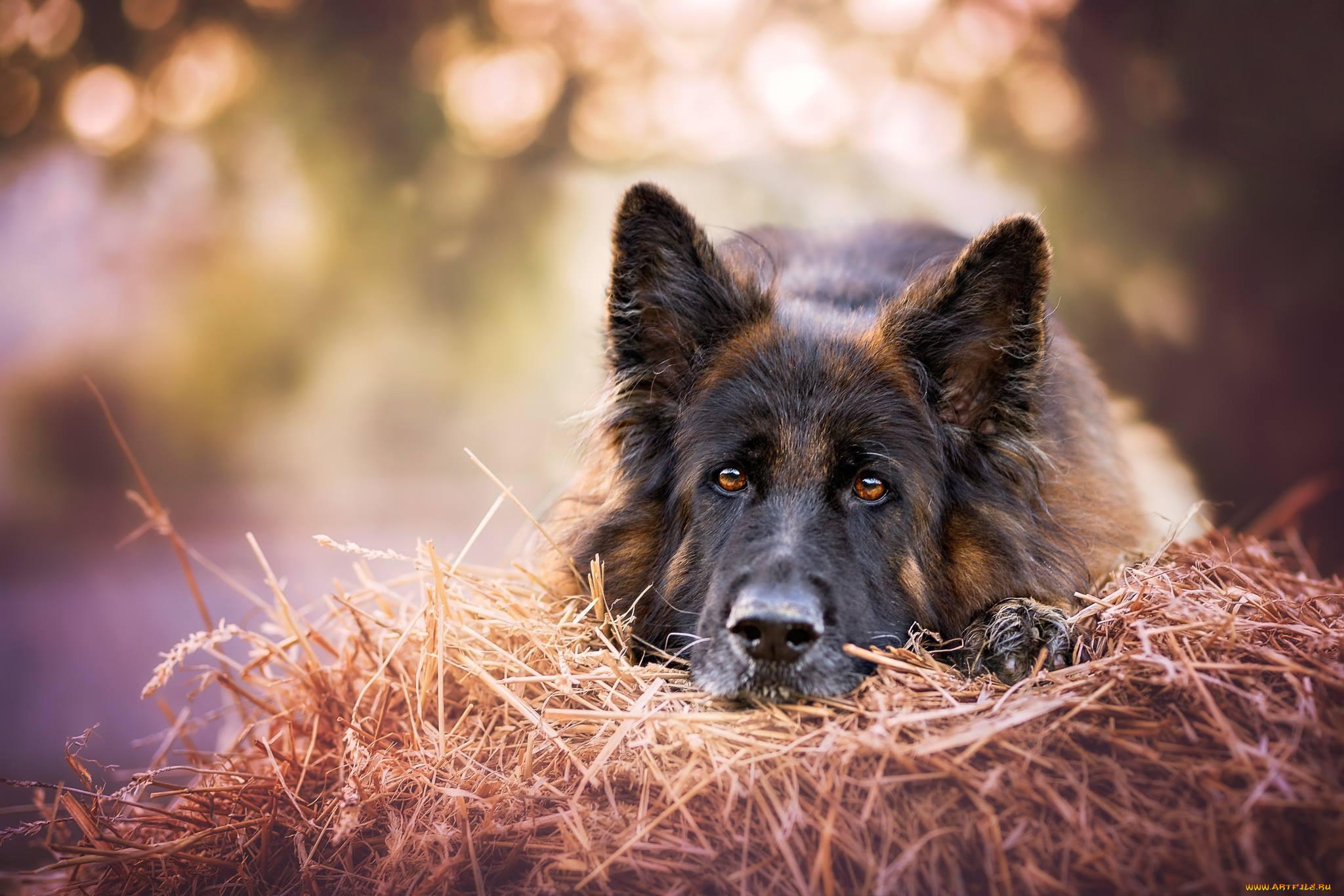 картинки животных овчарок реквизиты